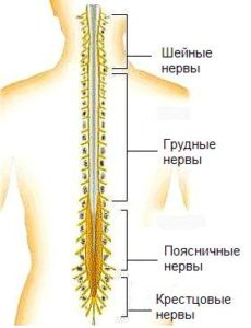 Спинной мозг строение и функции основы физиологии