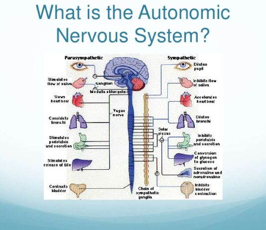 Симпатический и парасимпатический отделы вегетативной нервной системы: