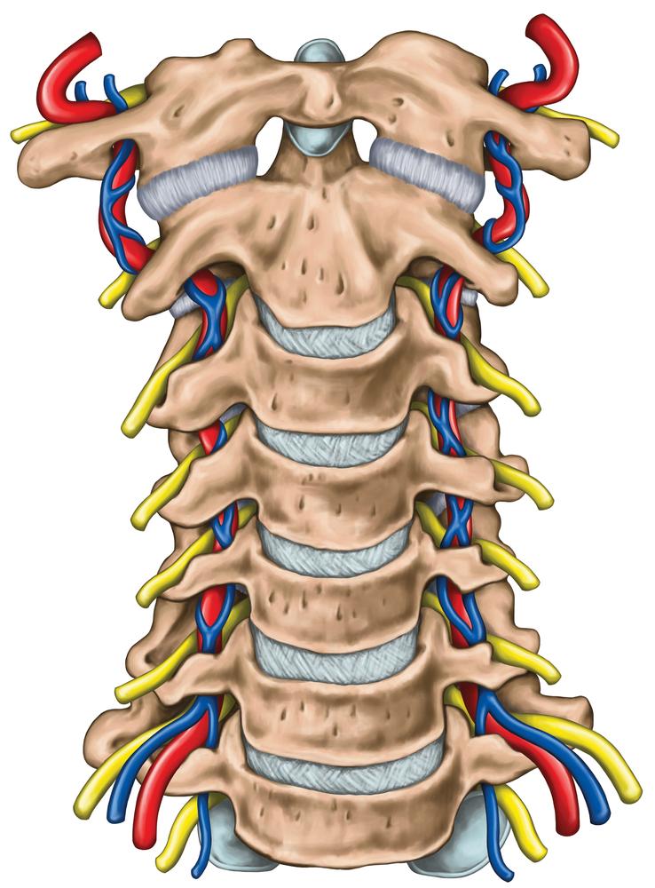Анатомия позвоночной артерии