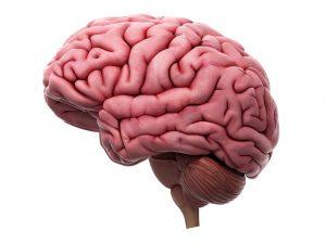 Человеческие мозги строение